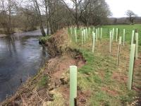 Willow spiling and tree planting