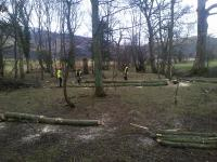 Sycamore trees being felled