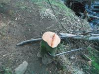 Tree secured to stump