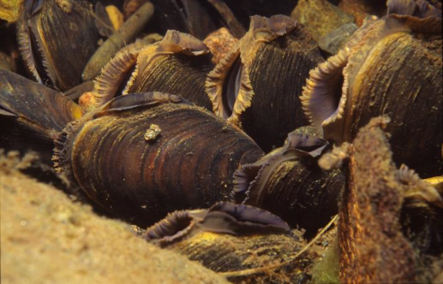 Bed of freshwater pearl mussels
